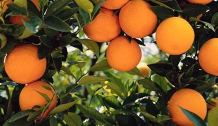 Türkiye'nin Avrupa Birliği ülkelerine  yaş meyve-sebze ihracatı ve karşılaşılan engeller: Turunçgil Meyveler Örneği